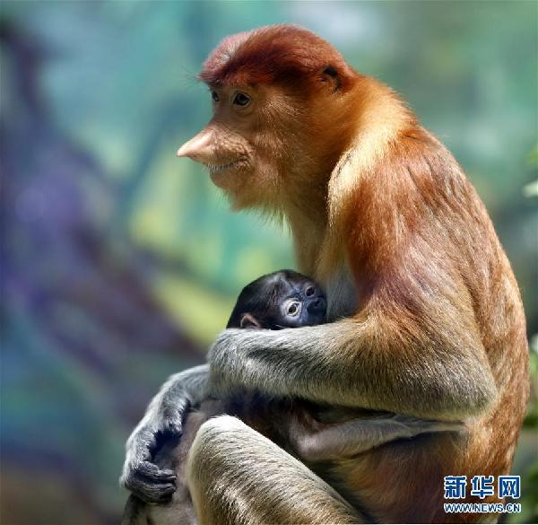 (环境)(1)广州长隆成功繁育珍稀大鼻猴