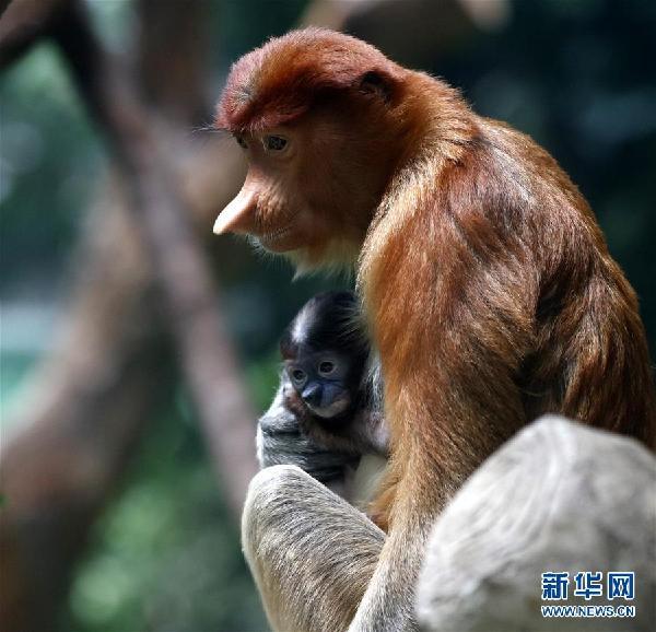 (环境)(2)广州长隆成功繁育珍稀大鼻猴