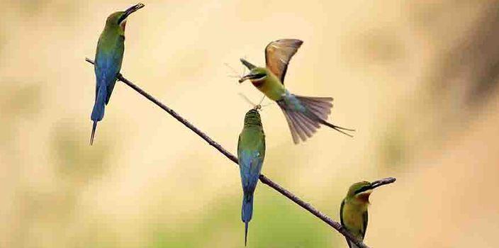 組圖|??冢荷鷳B修復和保護得力 蜂虎鳥繁殖增多