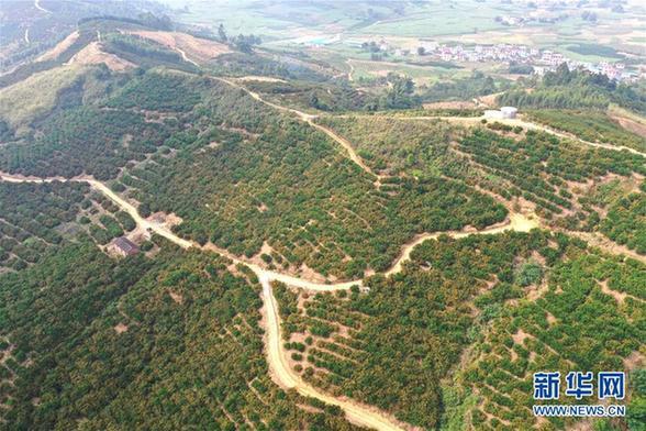 (经济)(1)广西鹿寨:小柑桔撑起脱贫致富大产业
