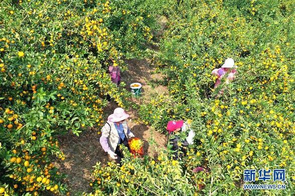(经济)(2)广西鹿寨:小柑桔撑起脱贫致富大产业