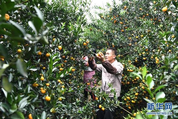 (经济)(3)广西鹿寨:小柑桔撑起脱贫致富大产业
