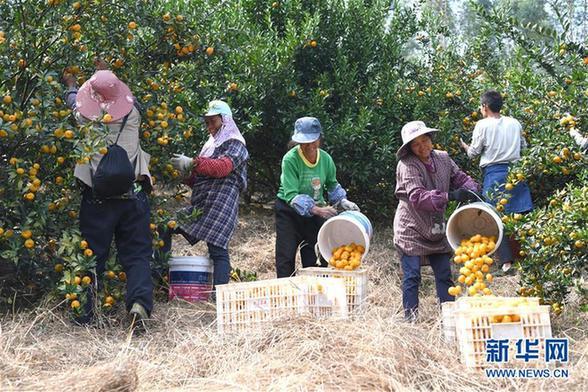 (经济)(4)广西鹿寨:小柑桔撑起脱贫致富大产业