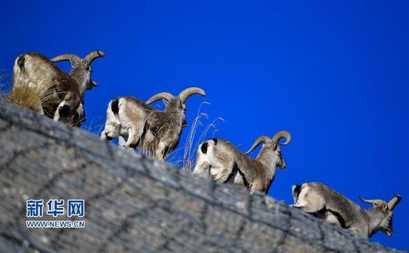 """(行走中国·图文互动)(5)青海三江源:在""""神山圣湖""""间寻觅""""高原精灵"""""""