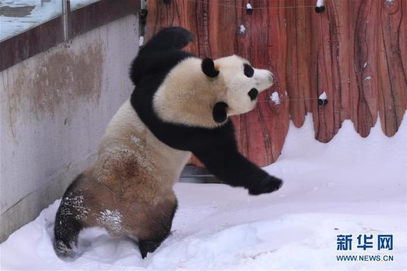"""(社会)(3)大熊猫雪后""""撒欢"""""""