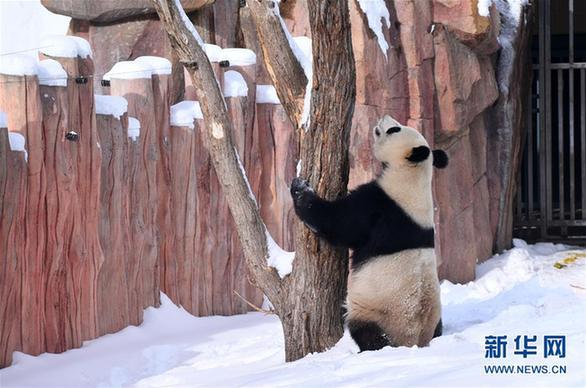 """(社会)(4)大熊猫雪后""""撒欢"""""""