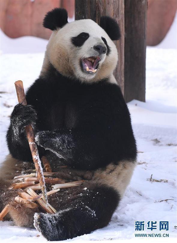 """(社会)(1)大熊猫雪后""""撒欢"""""""