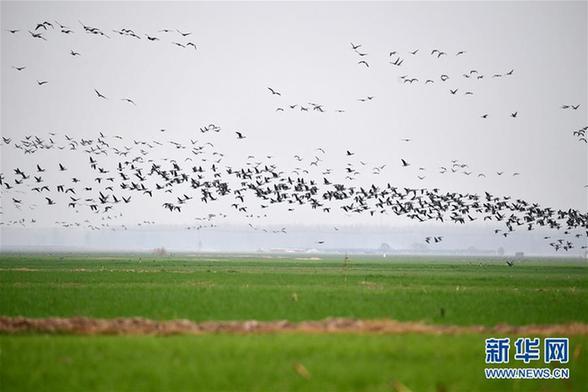 (环境)(1)黄河湿地群雁来临