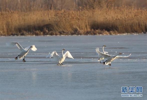 (环境)(1)河北怀来:初冬湿地天鹅舞