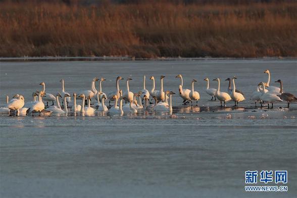 (环境)(2)河北怀来:初冬湿地天鹅舞