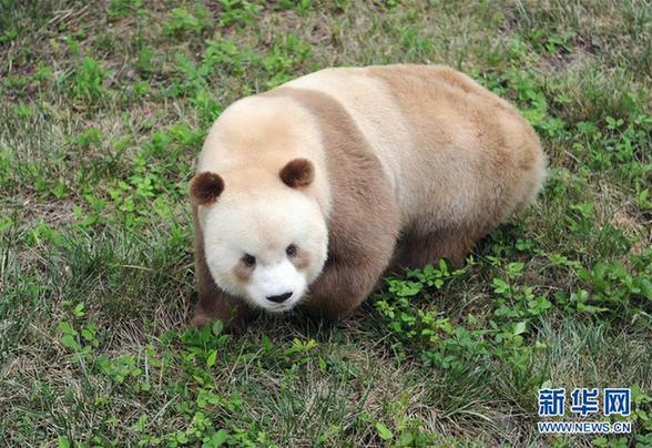 """(图文互动)(4)全球唯一圈养棕色大熊猫""""七仔""""被终身认养"""