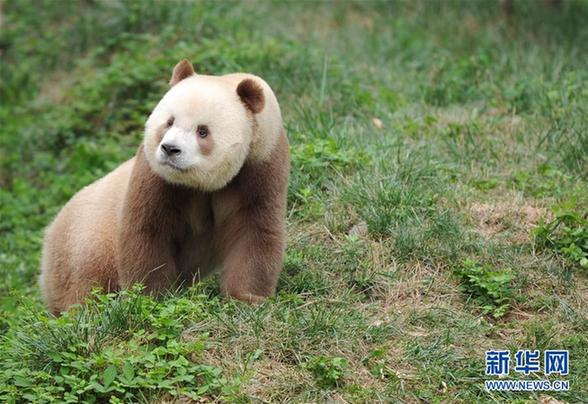 """(图文互动)(5)全球唯一圈养棕色大熊猫""""七仔""""被终身认养"""