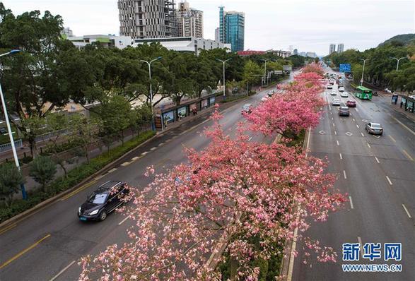 (環境)(1)廣西柳州:美麗異木棉花競相盛開