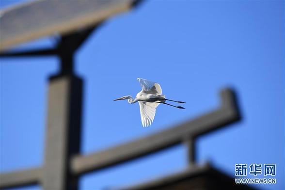 (环境)(2)山西太原:白鹭汾河舞