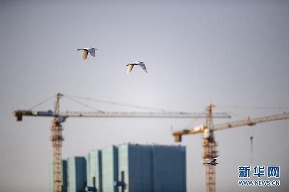 (环境)(5)山西太原:白鹭汾河舞