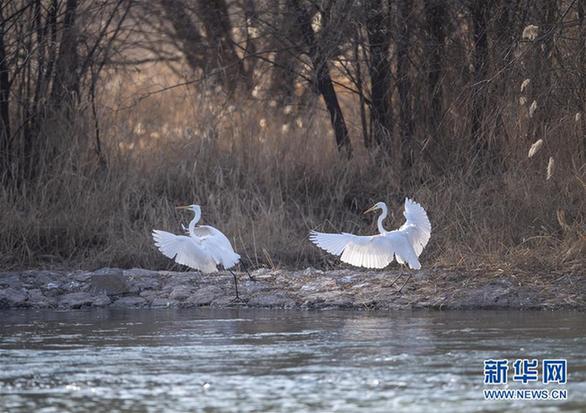 (环境)(6)山西太原:白鹭汾河舞