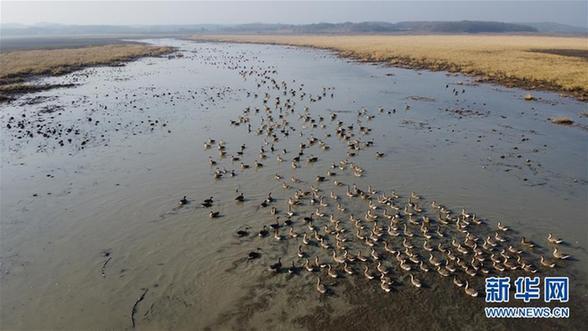 (美丽中国)(1)安徽升金湖迎来候鸟迁徙高峰