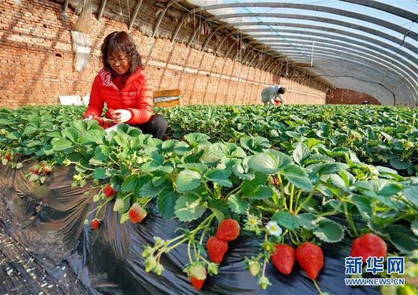 """(經濟)(1)河北撫寧:小草莓成農民冬季增收""""甜心果"""""""