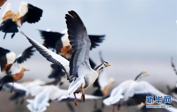 (环境)(2)贵州草海迎来大批越冬候鸟