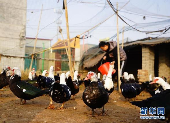 (经济)(1)河北新河:非洲雁落户贫困村