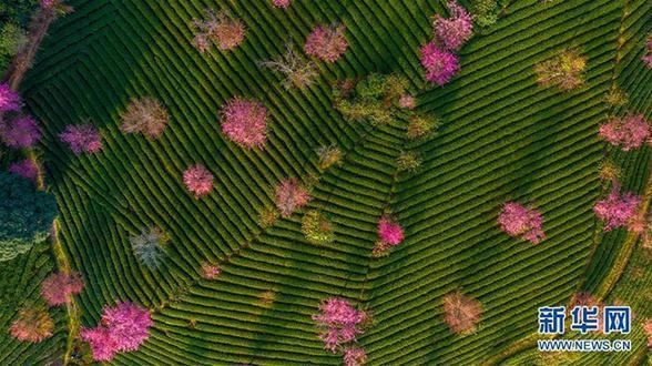 (美丽中国)(3)无量山樱花谷:茶园泛绿 樱花似霞