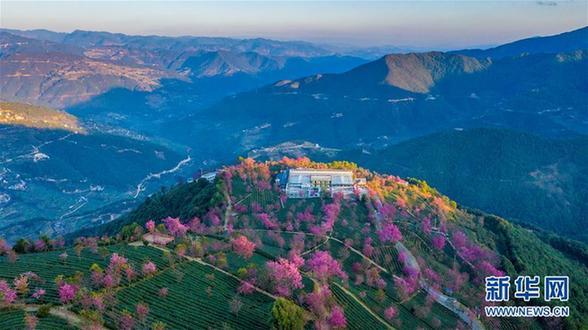 (美丽中国)(4)无量山樱花谷:茶园泛绿 樱花似霞