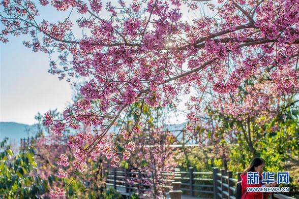 (美丽中国)(5)无量山樱花谷:茶园泛绿 樱花似霞