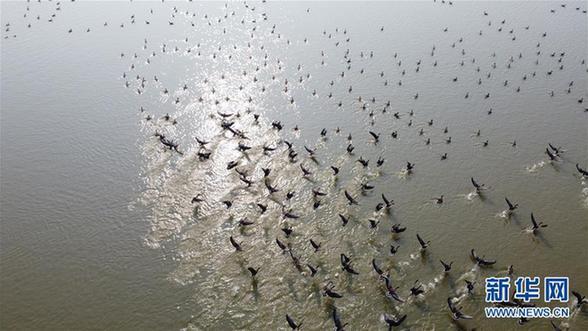 (环境)(1)安徽:冬日湿地 候鸟纷至