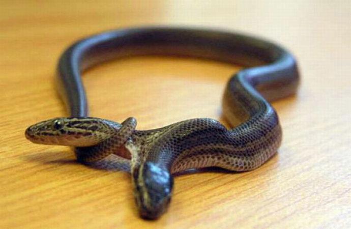 惊悚恐怖的双头蛇 [组图]