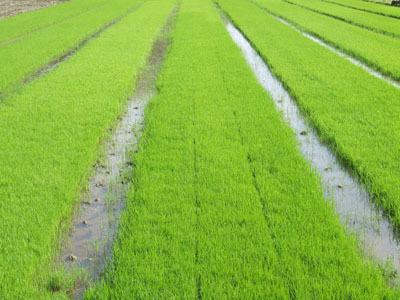 3月2日,儋州市南丰镇那早村呈现一派春耕的繁忙景象:秧田里秧苗