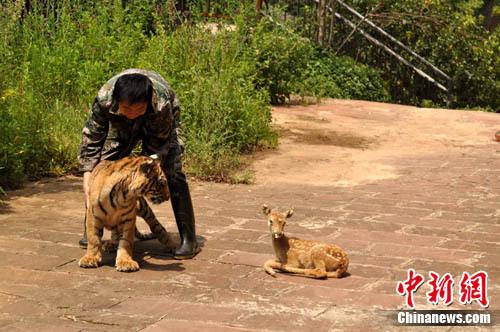搞笑的动物捕食课——3只刚满3个月的狮子宝宝和1只