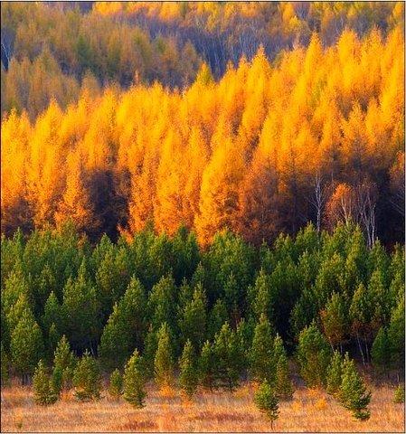 大兴安岭北部兴安落叶松林