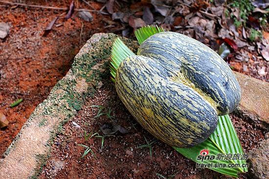 海椰子 世界上最让人脸红的奇特植物