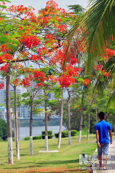日前,三亚市路边的凤凰花盛开,鲜艳如火,为城市增添了亮丽的色彩.