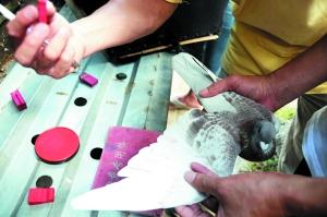 海南:揭秘信鸽归巢