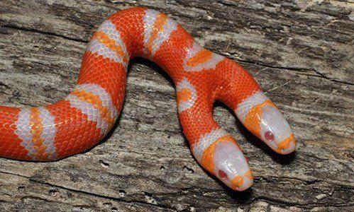 这条双头蛇还患有白化症