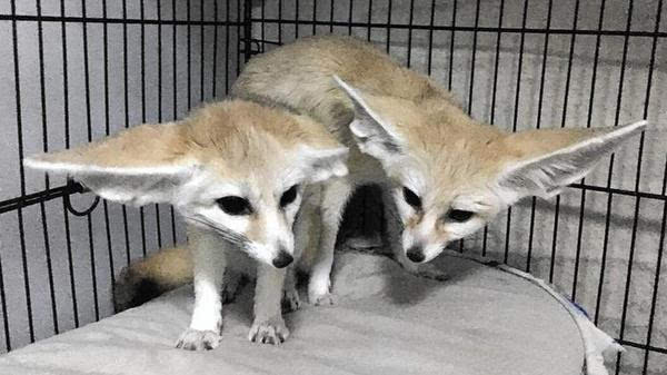 《疯狂动物城》引耳廓狐热