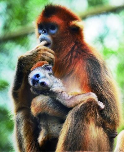 """北京动物园3种金丝猴齐添""""千金"""" 看猴莫敲玻璃"""