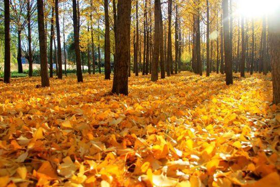 听说秋天欧洲树叶变黄美洲却变红