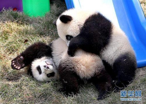 4月22日,大熊猫龙凤胎宝宝在室外活动场玩耍嬉戏.图片