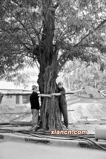 楚槐树的具体年龄
