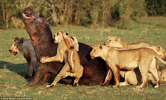 野生动物生死搏斗精彩瞬间
