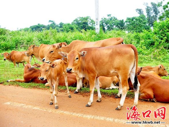 海南乡下路边的小黄牛 在海南的乡下常见一些小黄牛在公路边吃草,只见小黄牛四条粗壮的小腿,像四根小柱子,支撑着它那滚圆的躯体,向前奔跑时特别可爱。 小黄牛黄色的皮肤与青青的绿色相映衬,十分协调,构成一幅幅美的画面。