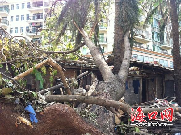 海口:10米大树压在阿婆家屋顶 大家快去帮她清理