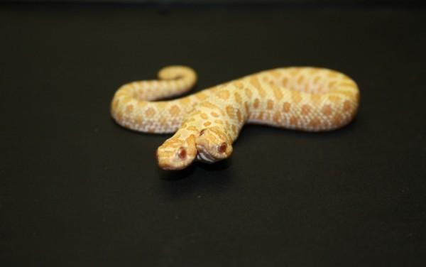 最诡异的收藏白化双头猪鼻蛇,是世界上最为稀有的动物.