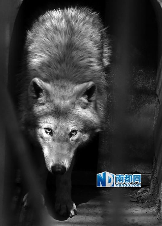 3月19日,被抓获的野狼在包头市劳动公园动物园兽笼内张望.
