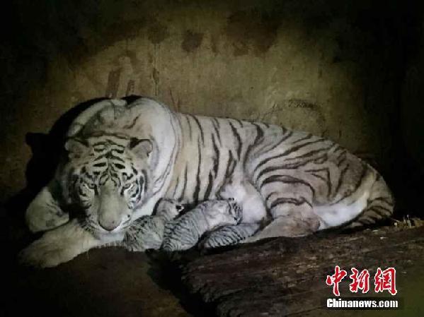 云南动物园白虎妈妈产5胞胎