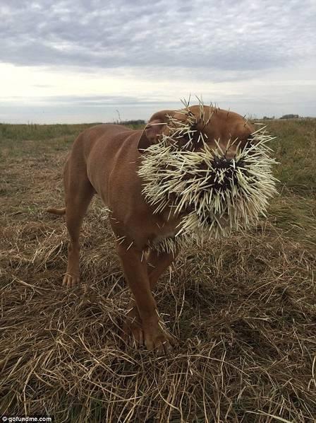 拿大宠物狗攻击豪猪反被刺一身
