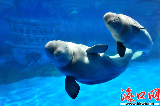 大连老虎滩海洋公园极地馆中的极动物——白鲸 海口网记者 袁宇摄