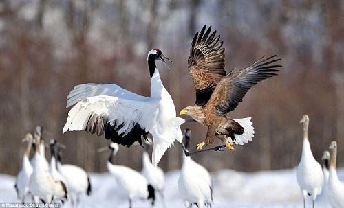 丹顶鹤用白鹤亮翅击退对方